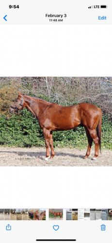 Stallion Muitiple SW and Graded Placed