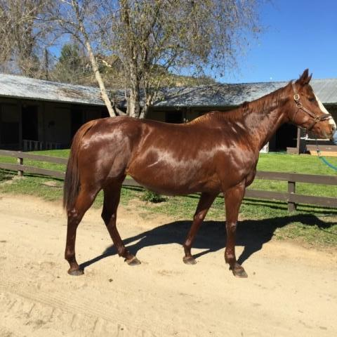 In Foal to Merit Man