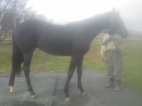 2yo In Training MD bred filly