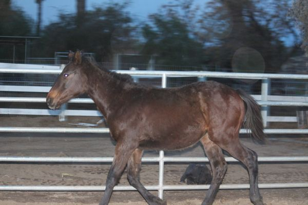 YEARLING FILLY Storm Cat Cross/Winning Affirmed Mare