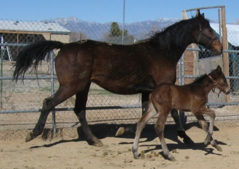 3 IN 1 PACKAGE, WINNING MALIBU MOON MARE,2015 FILLY,BRED TO SOUTHERN IMAGE 2015