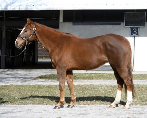 *Price Reduced* Beautiful, kind, young mare ready to breed in KY