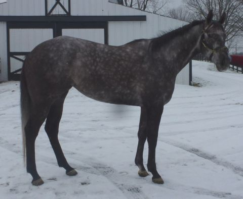 4yr old Flashy Bull filly-Multiple winner