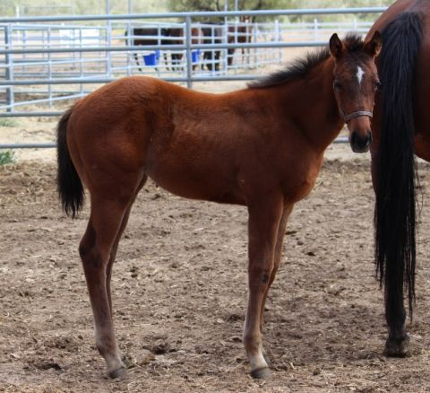 MT LIVERMORE MARE FILLY BY SON OF EL PRADO