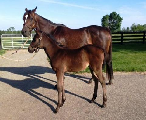 2004 Broodmare in foal to PAYNTER all fees paid