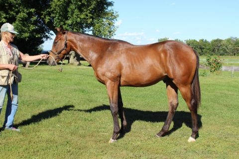 Reg. NY Bred Silent Name 2yr old gelding, in training, Breeders Cup nom.