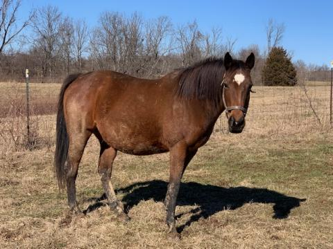 Pulpit Broodmare in Foal To Indiana Sire (Mondavi)